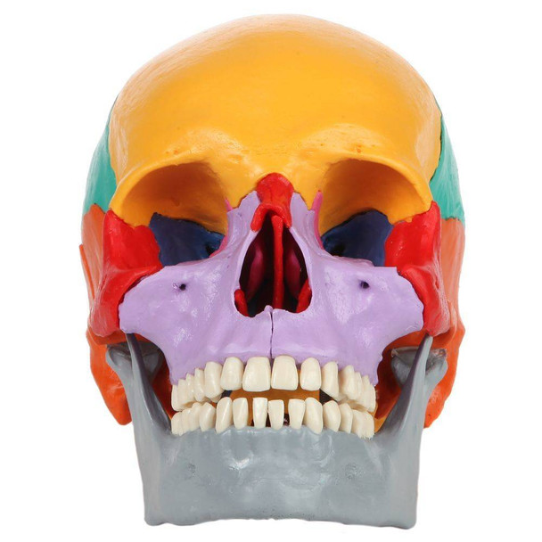Rudiger Anatomie Premium 18-Part Didactic Human Skull
