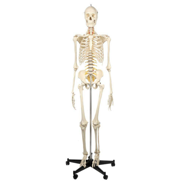 Rudiger Anatomie Premium Highly Flexible Physio Skeleton