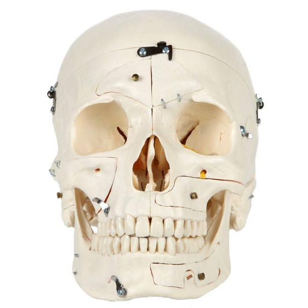 Rudiger Anatomie Premium 14-Part Deluxe Demonstration Skull