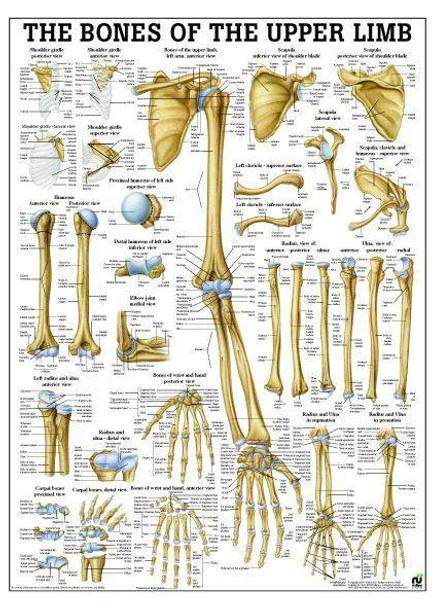 Bones Of Upper Limb Laminated Anatomy Chart