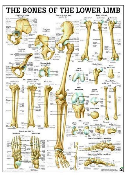 Bones Of Lower Limb Laminated Anatomy Chart