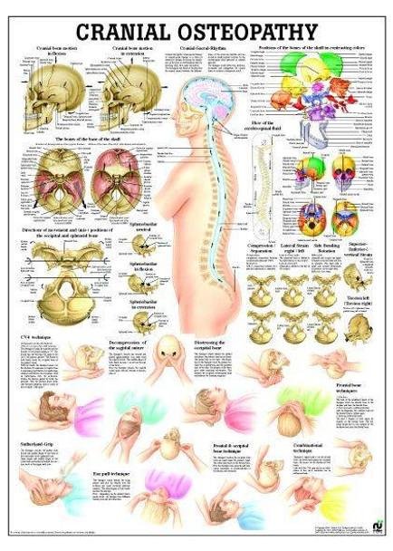 Craniosacral Osteopathy Laminated Anatomy Chart