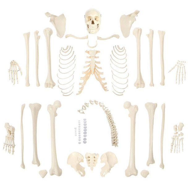 Rudiger Anatomie Premium Complete Disarticulated Skeleton