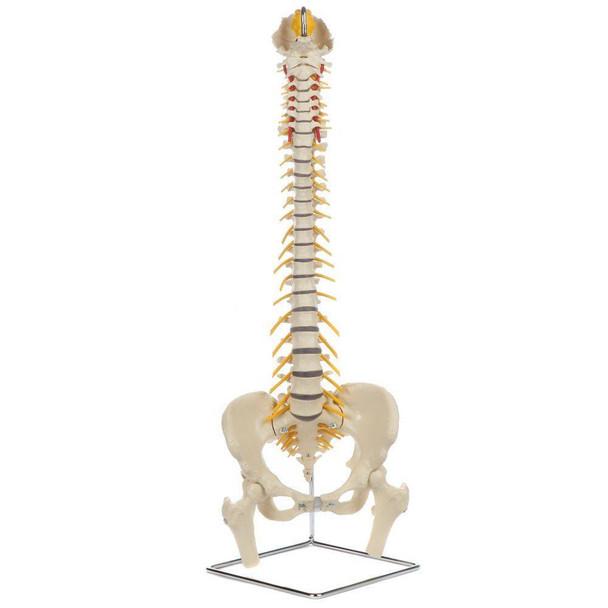 Rudiger Anatomie Premium Flexible Spine with Female Pelvis and Femur Heads