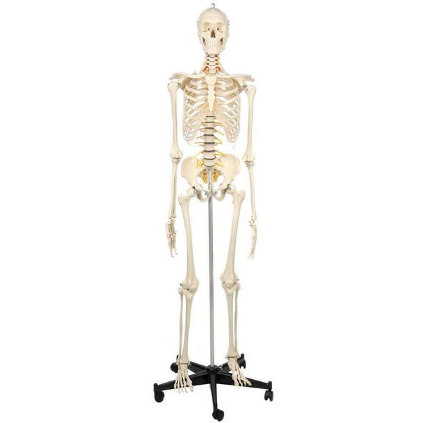 Rudiger Anatomie Premium Flexible Skeleton
