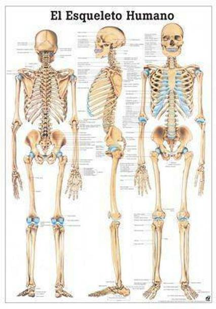 The Human Skeleton Laminated Anatomy Chart El Esqueleto Humano in Spanish