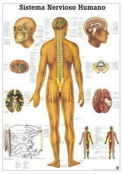 The Human Nervous System Laminated Anatomy Chart Sistema Nervioso Humano in Spanish