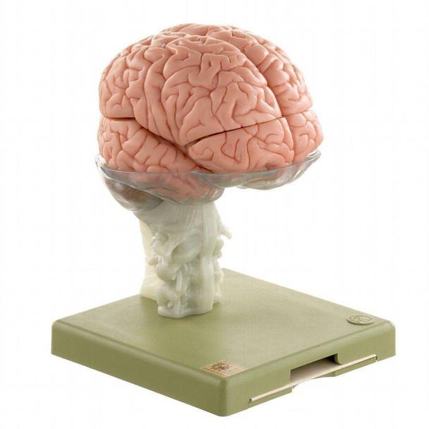 SOMSO Premium Brain in 15 Parts