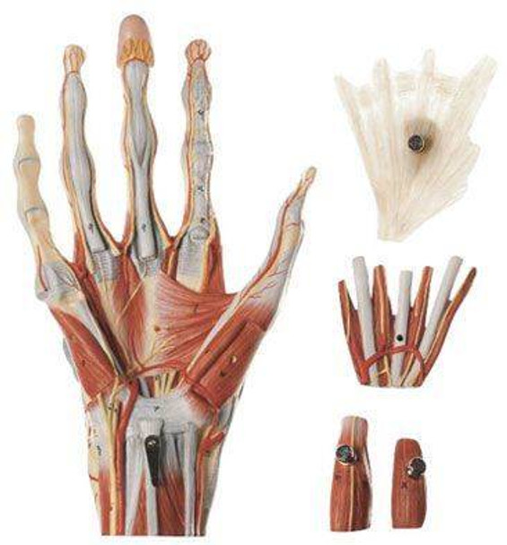 SOMSO Muscles of the Hand Premium Model