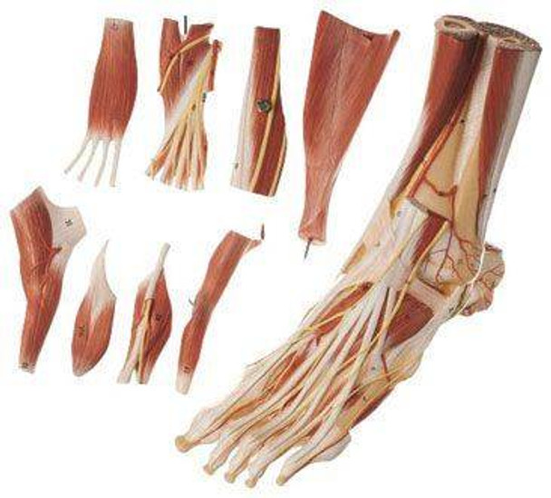 SOMSO Muscles of the Foot Premium Model