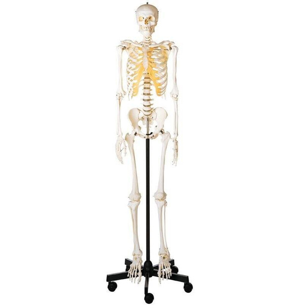 SOMSO Premium Skeleton - Male