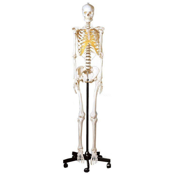 SOMSO Premium Skeleton - Female