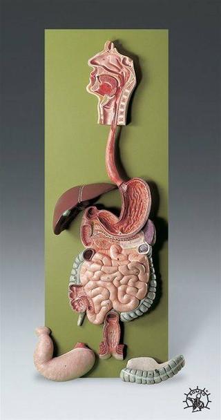 SOMSO Complete Digestive System Model - 2/3 Life Size