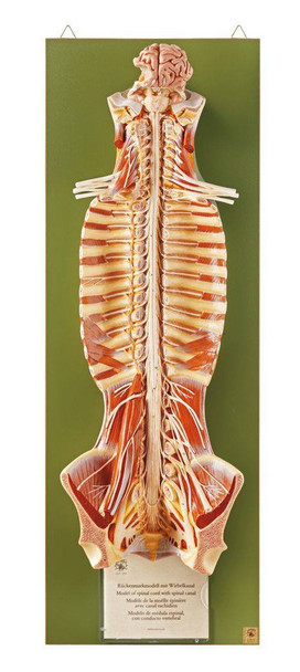 SOMSO Spinal Cord in the Spinal Canal