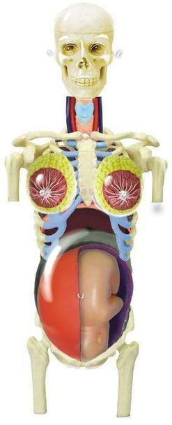 Transparent Pregnancy Torso 4D Anatomy Puzzle