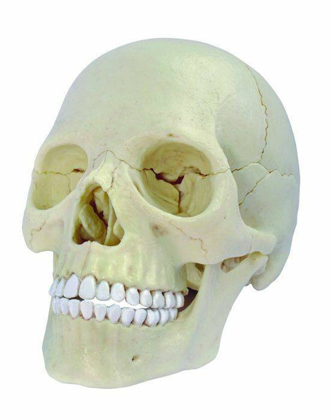 Exploded Skull 4D Puzzle