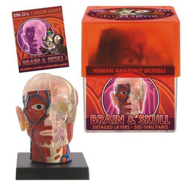 BioSigns - Brain and Skull Anatomy Model