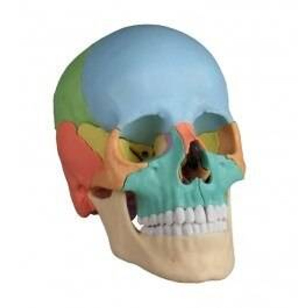 22 Part Didactical Osteopathic Skull Model