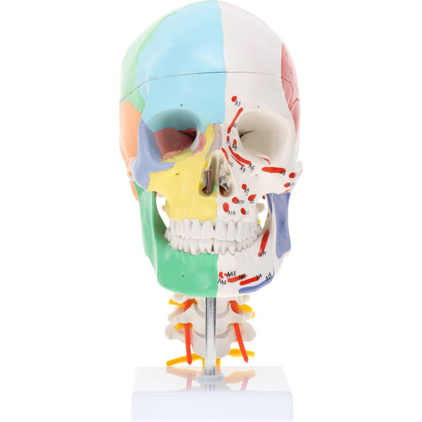 Axis Scientific Life-Size Half-Didactic Half-Muscle Painted Skull with Cervical Spine and Spinal Nerves Anatomy Model