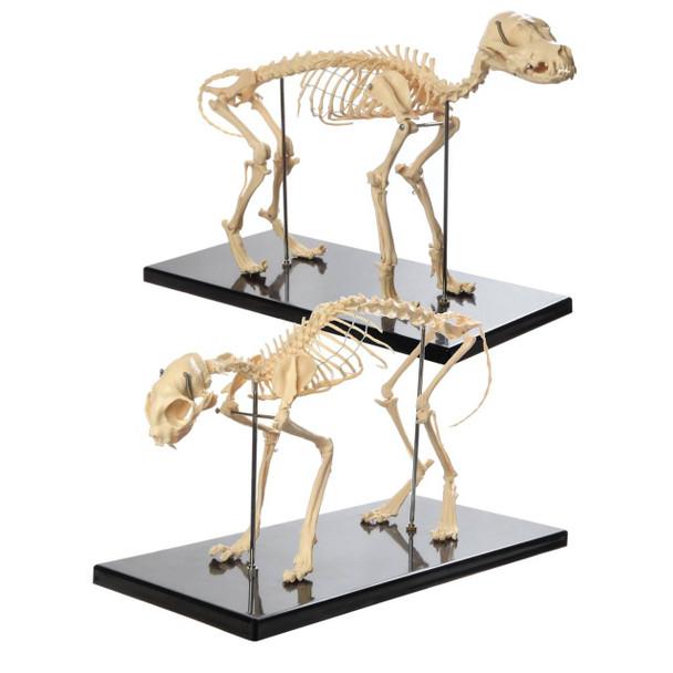 Anatomy Lab Canine and Feline Skeleton Anatomy Model Kit