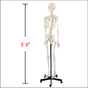 Axis Scientific Classic Life-Size Human Skeleton Anatomy Model Dimensions 62 x 17 x 11 inches