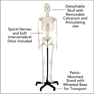 Axis Scientific Classic Life-Size Human Skeleton Anatomy Model Main Features