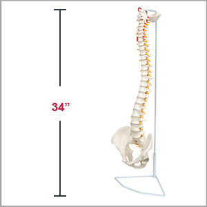 Axis Scientific Life-Size Human Spine with Complete Vertebrae, Nerves, and Male Pelvis Anatomy Model Dimensions 31 x 6 x 10 inches