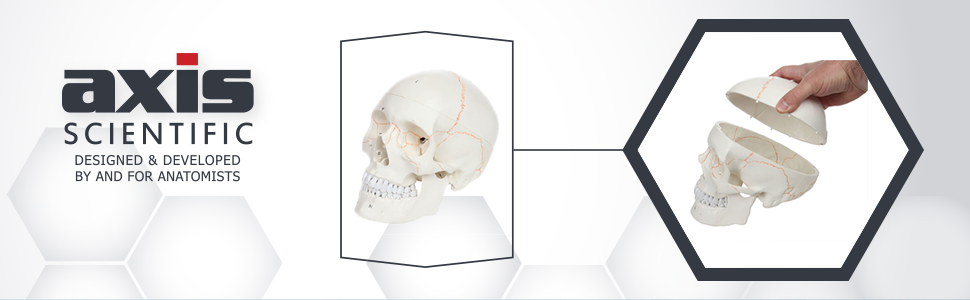 Axis Scientific 3-Part Life-Size Human Skull Numbered Anatomy Model
