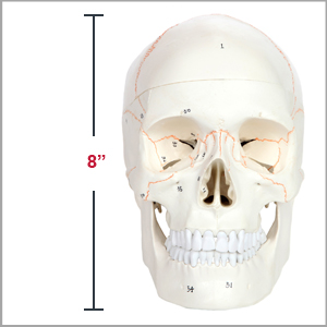 Axis Scientific 3-Part Life-Size Human Skull Numbered Anatomy Model Dimensions 7 x 8 x 5 inches