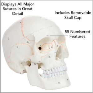 Axis Scientific 3-Part Life-Size Human Skull Numbered Anatomy Model Main Features