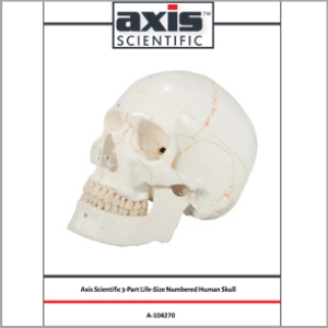 Axis Scientific 3-Part Life-Size Human Skull Numbered Anatomy Model Study Guide Booklet and Manual