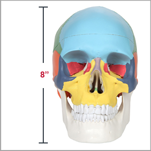 Axis Scientific 3-Part Life-Size Didactic Human Skull Anatomy Model Dimensions 7 x 8 x 5 inches