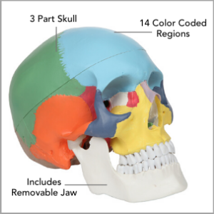 Axis Scientific 3-Part Life-Size Didactic Human Skull Anatomy Model Main Features