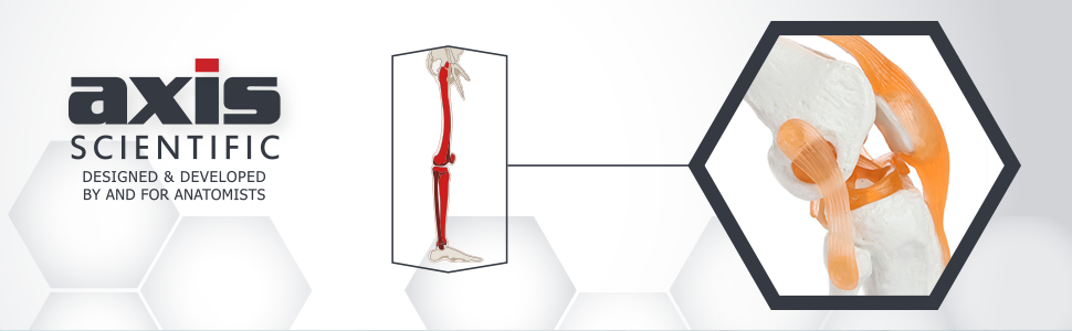 Axis Scientific Human Knee Joint with Functional Ligaments Anatomy Model