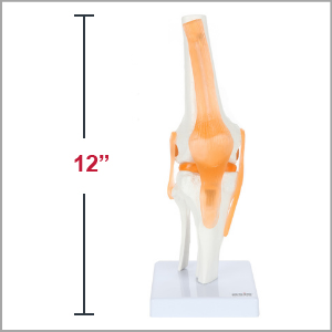 Axis Scientific Human Knee Joint with Functional Ligaments Anatomy Model Dimensions 12 x 5 x 5 inches