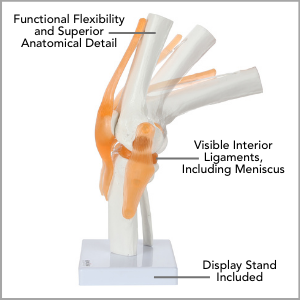 Axis Scientific Human Knee Joint with Functional Ligaments Anatomy Model Main Features