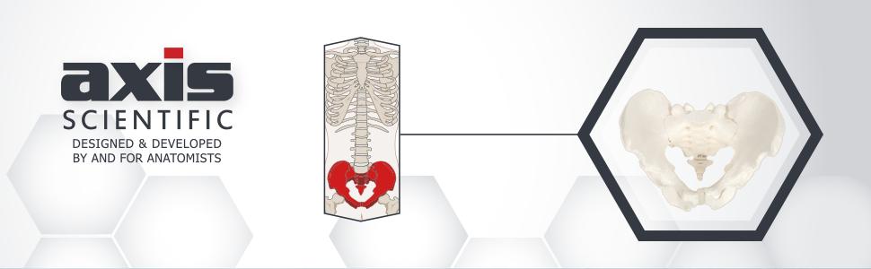 Axis Scientific Life-Size Male Pelvis Skeleton Anatomy Model