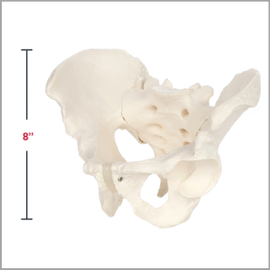 Axis Scientific Life-Size Male Pelvis Skeleton Anatomy Model Dimensions 8 x 7 x 9 inches.