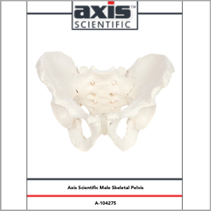 Axis Scientific Life-Size Male Pelvis Skeleton Anatomy Model Study Guide Booklet and Manual.