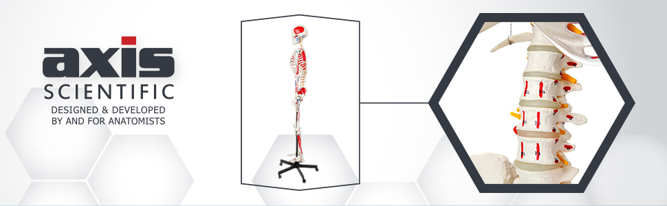 Axis Scientific Muscle Painted and Numbered Life-Size Human Skeleton Anatomy Model