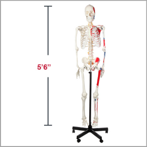 Axis Scientific Muscle Painted and Numbered Life-Size Human Skeleton Anatomy Model Dimensions 66 x 17 x 11 inches.