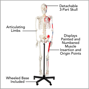Axis Scientific Muscle Painted and Numbered Life-Size Human Skeleton Anatomy Model Main Features.