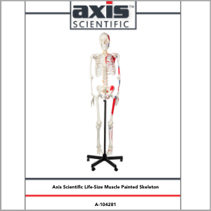 Axis Scientific Muscle Painted and Numbered Life-Size Human Skeleton Anatomy Model Study Guide Booklet and Manual.