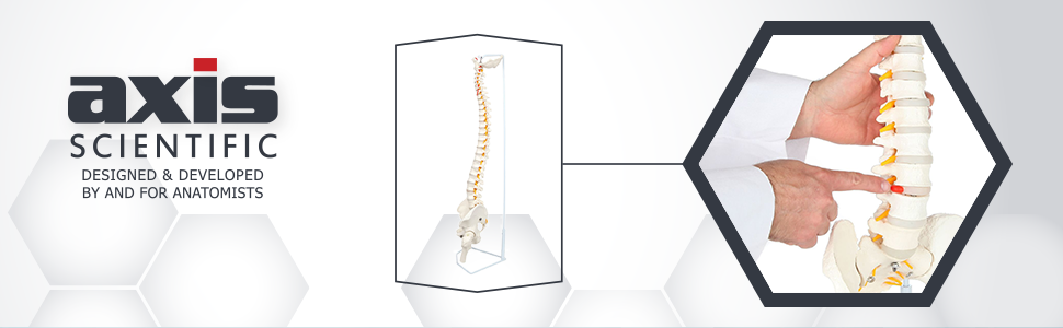 Axis Scientific Life-Size Flexible Human Spine with Removable Femur Heads Anatomy Model