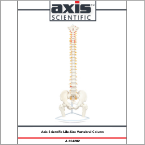 Axis Scientific Life-Size Flexible Human Spine with Removable Femur Heads Anatomy Model Study Guide Booklet and Manual