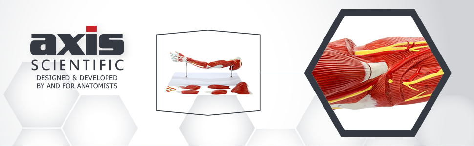 Axis Scientific Life-Size 7-Part Human Muscular Arm  with Detachable Muscles Anatomy Model