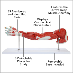 Axis Scientific Life-size 7-Part Human Muscular Arm with Detachable Muscles Anatomy Model Main Features.