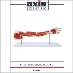 Axis Scientific Life-size 7-Part Human Muscular Arm with Detachable Muscles Anatomy Model Study Guide Booklet and Manual.
