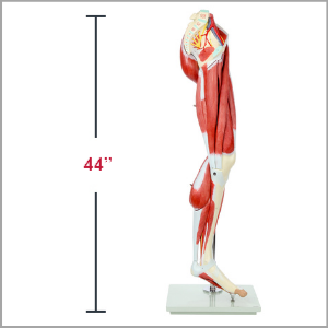 Axis Scientific Life-Size 13-Part Human Muscular Leg with Detachable Muscles Anatomy Model Dimensions 10 x 42 x 12 inches