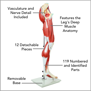 Axis Scientific Life-Size 13-Part Human Muscular Leg with Detachable Muscles Anatomy Model Main Features
